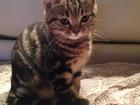 Фото в Кошки и котята Продажа кошек и котят Котята редкого окраса - черный мрамор на в Волгограде 0
