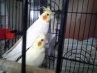 Уникальное фотографию  Продаётся попугай карелла 36750980 в Волгограде