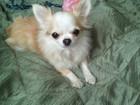 Фотография в Собаки и щенки Продажа собак, щенков Отдам в добрые руки взрослую Чихуахуа, девочка в Волгограде 0