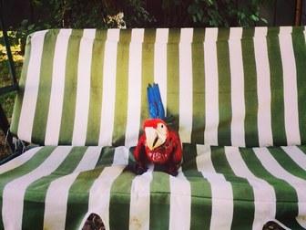 Смотреть foto  Зеленокрылый ара Ara chloroptera птенец выкормыш 36651365 в Москве