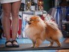 Фото в Собаки и щенки Вязка собак Предлагается для племенного использования в Вологде 7000