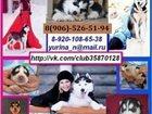 Фото в Собаки и щенки Продажа собак, щенков Миленькие щеночки хаски по минимальным ценам! в Вологде 0