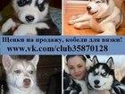 Фотография в   ХАСКИ чистокровных щеночков разных окрасов в Вологде 8000