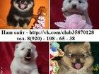 Изображение в Собаки и щенки Продажа собак, щенков Хороший выбор щеночков померанского шпица в Вологде 0