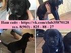 Изображение в Собаки и щенки Продажа собак, щенков Лабрадора чистокровных щеночков продам по в Вологде 7000