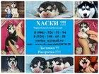 Фотография в Собаки и щенки Продажа собак, щенков Щеночков хаски чёрно-белого и белого окраса в Вологде 0