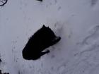 Смотреть фотографию Вязка собак Шикарный бельгиец грюнендаль ищет пару 58853913 в Волжском
