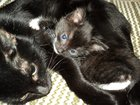 Фотография в Кошки и котята Продажа кошек и котят Черный с белыми лапками и грудкой. Приучен в Воронеже 0