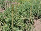 Фотография в Хобби и увлечения Разное Продаются садовые колышки (опоры для растений) в Воронеже 900