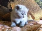 Изображение в Кошки и котята Продажа кошек и котят Продаются британские плюшевые котята. Окрас в Воронеже 2500