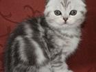 Фотография в Кошки и котята Продажа кошек и котят Чистокровные шотландцы от титулованных родителей, в Воронеже 8000