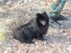 Новое изображение Вязка собак Шпиц померанский 38518645 в Воронеже