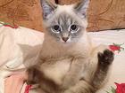 Изображение в Кошки и котята Вязка Кошечка возрастом в 8 месяцев. Впервые хочет в Воронеже 0