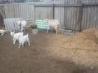 Смотреть изображение  Козы и козлята 38866056 в Воронеже