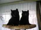 Экзотические короткошерстные котята к Новому Году