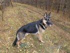 Изображение в Собаки и щенки Вязка собак Предлагается для вязки кобель породы Немецкая в Воскресенске 2000