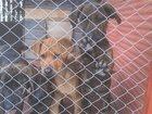 Фотография в Собаки и щенки Продажа собак, щенков 4 щенка. Два мальчика и две девочки по 3 в Воскресенске 0