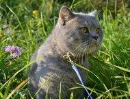 Шотландский кот Шотландский прямоухий кот, с родословной, приглашает кошечек на