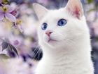 Смотреть фото Вязка кошек Котик породы КАО МАНИ срочно ищет кошечку (любую), 39974198 в Зеленограде