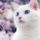 Котик породы Као Мани срочно ищет кошечку (любую)