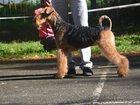 Фотография в   Предлагаются к резервированию щенки эрдельтерьера. в Златоусте 20000